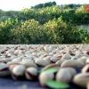 Pistacchio Valle del Platani, inizia la raccolta delle gemme di smeraldo della Valle del Platani.